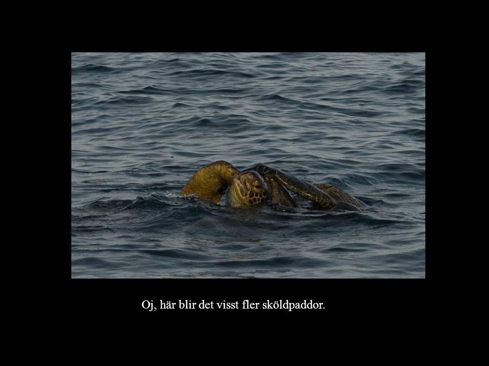 Oj, här blir det visst fler sköldpaddor.