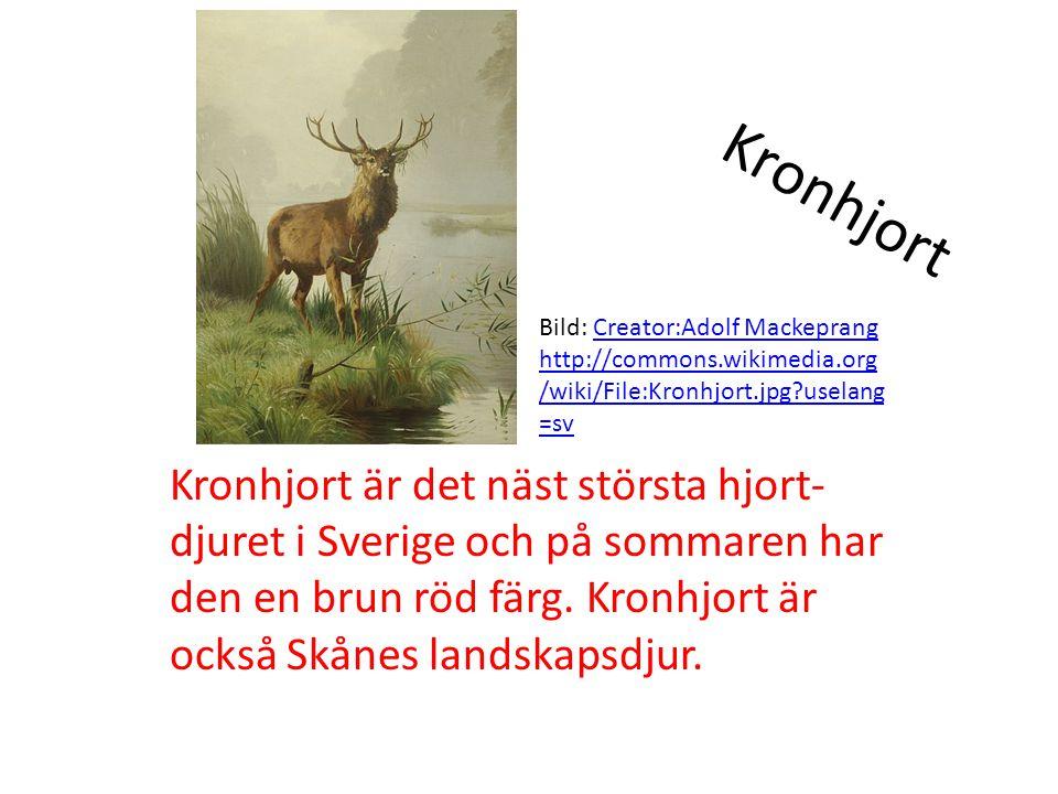 Kronhjort Kronhjort är det näst största hjort- djuret i Sverige och på sommaren har den en brun röd färg. Kronhjort är också Skånes landskapsdjur. Bil