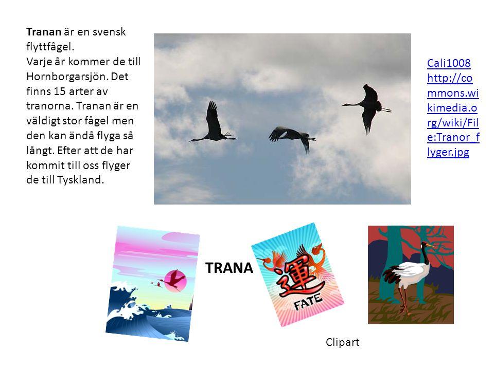 Tranan är en svensk flyttfågel. Varje år kommer de till Hornborgarsjön. Det finns 15 arter av tranorna. Tranan är en väldigt stor fågel men den kan än