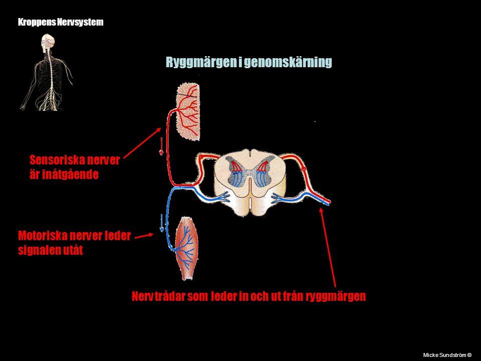 Kroppens Nervsystem Micke Sundström © Ryggmärgen i genomskärning Nervtrådar som leder in och ut från ryggmärgen Sensoriska nerver är inåtgående Motori