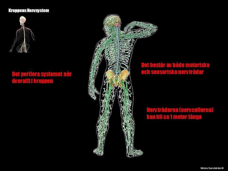 Kroppens Nervsystem Micke Sundström © Det perifera systemet når överallt i kroppen Det består av både motoriska och sensoriska nervtrådar Nervtrådarna