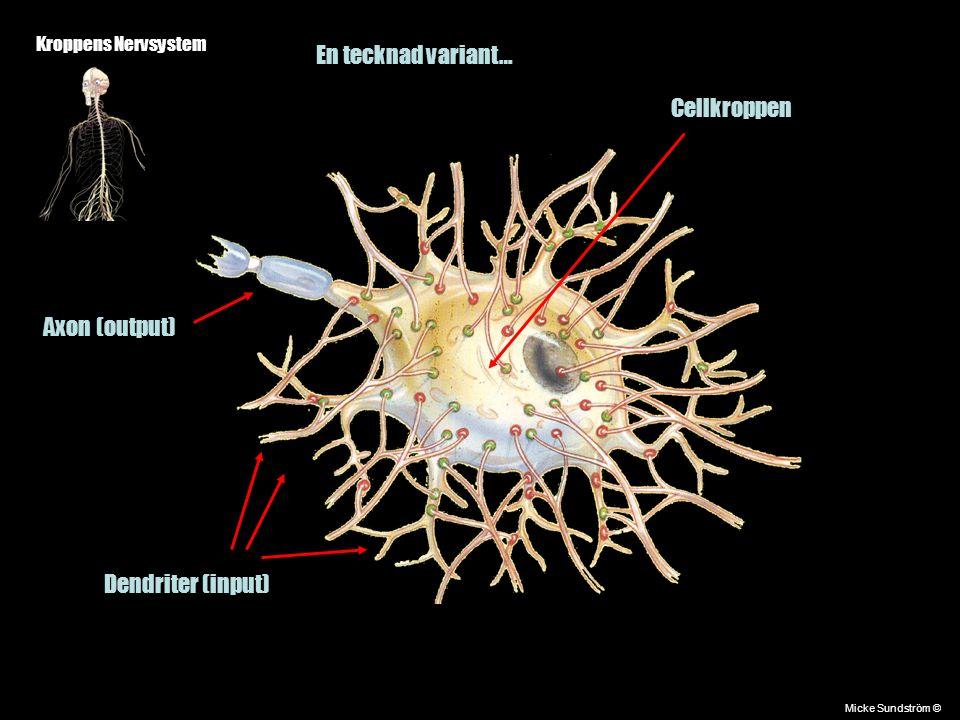 Kroppens Nervsystem Micke Sundström © En tecknad variant… Cellkroppen Dendriter (input) Axon (output)