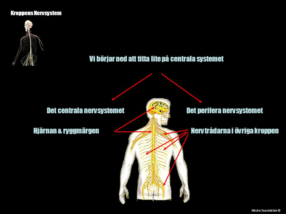 Kroppens Nervsystem Det centrala nervsystemetDet perifera nervsystemet Hjärnan & ryggmärgenNervtrådarna i övriga kroppen Micke Sundström © Vi börjar n