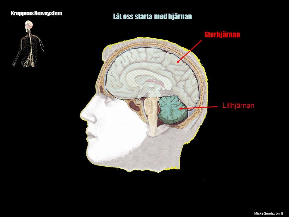 Kroppens Nervsystem Först ett foto på en cellkropp Micke Sundström ©