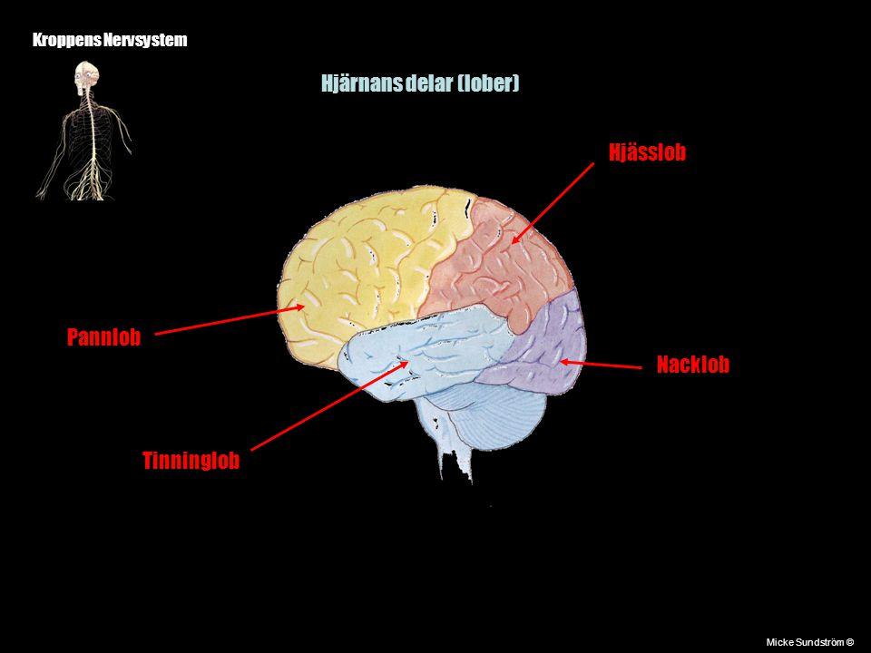Kroppens Nervsystem Micke Sundström © Några hjärncentran Talcentrum Finns bara på vänster halva Hörselcentrum Syncentrum Balans ( I hjärnbarken)