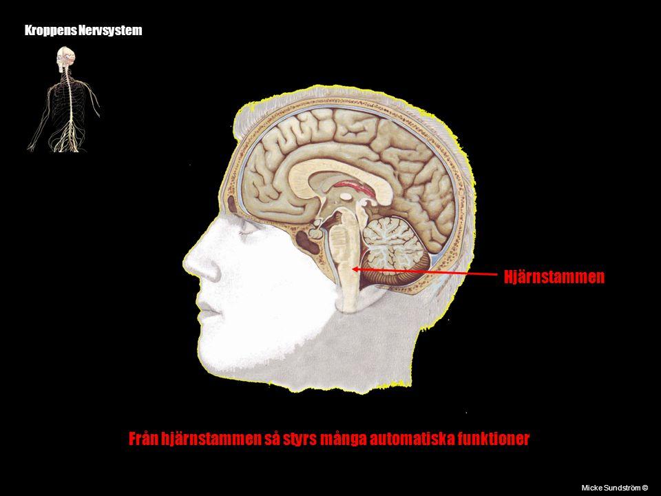 Kroppens Nervsystem Micke Sundström © Hjärnstammen Från hjärnstammen så styrs många automatiska funktioner