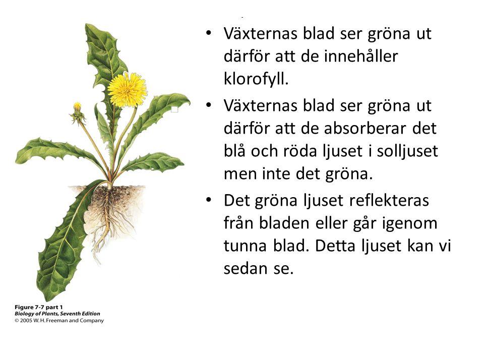 - • Växternas blad ser gröna ut därför att de innehåller klorofyll. • Växternas blad ser gröna ut därför att de absorberar det blå och röda ljuset i s