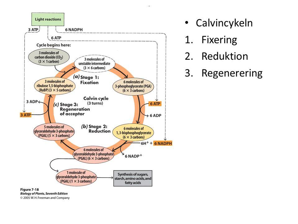 - • Calvincykeln 1.Fixering 2.Reduktion 3.Regenerering