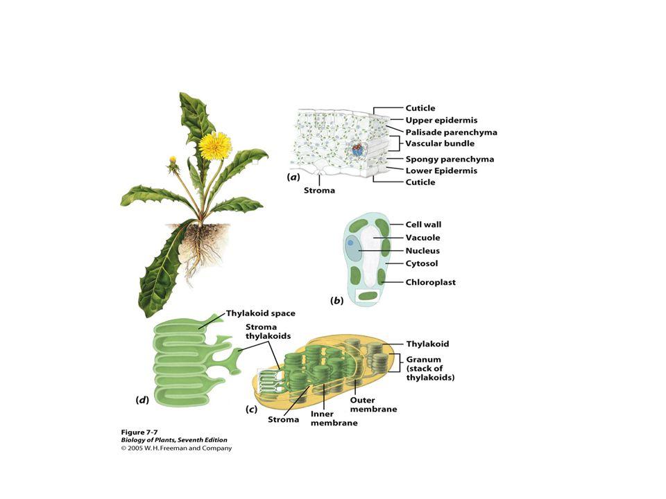 Fotosyntes • Den fotosyntetiserande vävnaden i bladen kallas mesofyll.