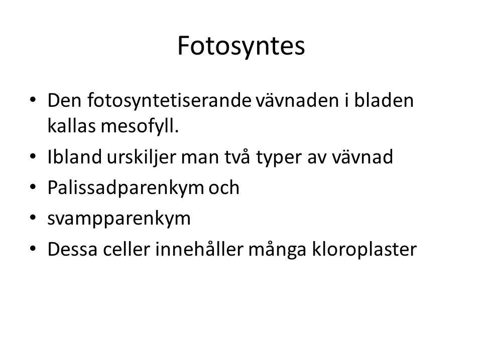 Fotosyntes • Den fotosyntetiserande vävnaden i bladen kallas mesofyll. • Ibland urskiljer man två typer av vävnad • Palissadparenkym och • svampparenk