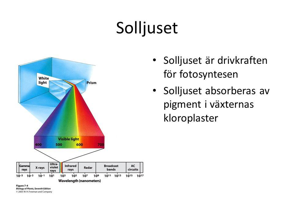 Solljuset • Solljuset är drivkraften för fotosyntesen • Solljuset absorberas av pigment i växternas kloroplaster