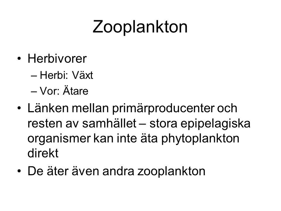 Zooplankton •Herbivorer –Herbi: Växt –Vor: Ätare •Länken mellan primärproducenter och resten av samhället – stora epipelagiska organismer kan inte äta