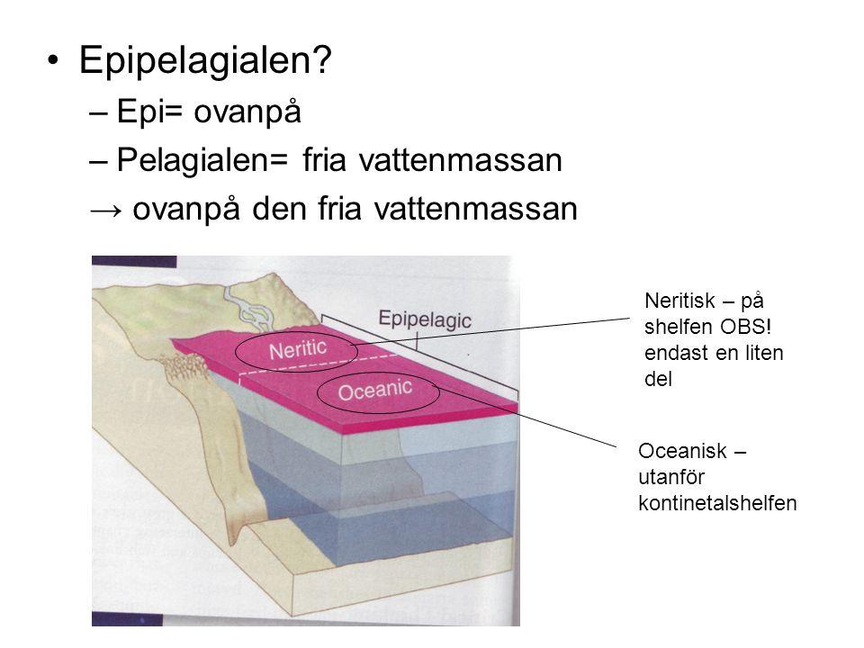 •Epipelagialen? –Epi= ovanpå –Pelagialen= fria vattenmassan → ovanpå den fria vattenmassan Oceanisk – utanför kontinetalshelfen Neritisk – på shelfen