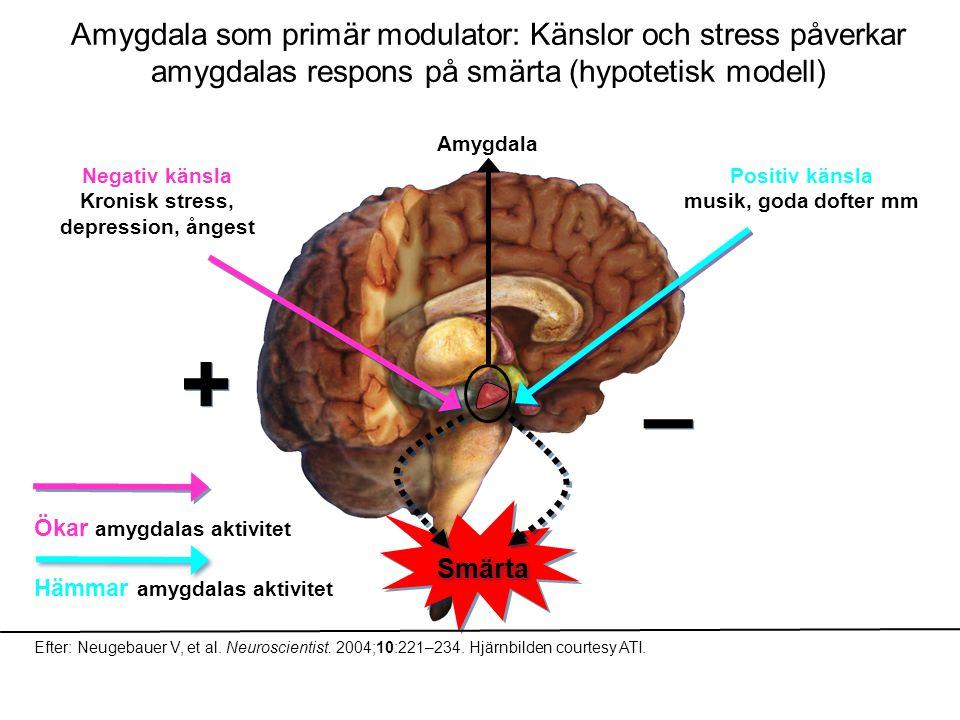 Amygdala som primär modulator: Känslor och stress påverkar amygdalas respons på smärta (hypotetisk modell) Smärta Amygdala Negativ känsla Kronisk stre