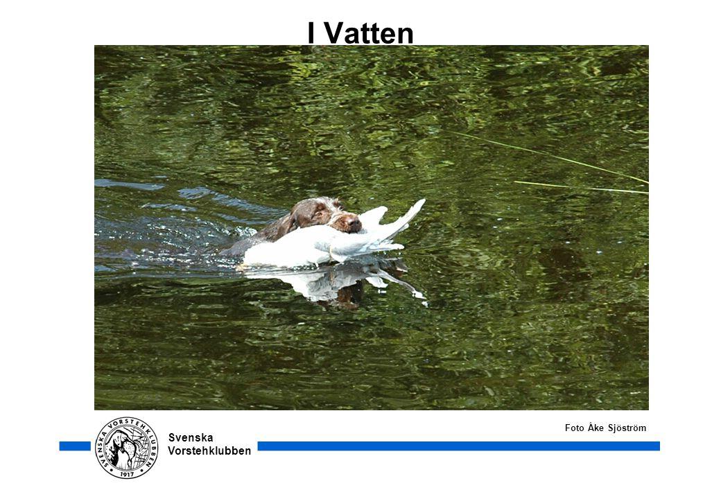 Svenska Vorstehklubben I Vatten Foto Åke Sjöström