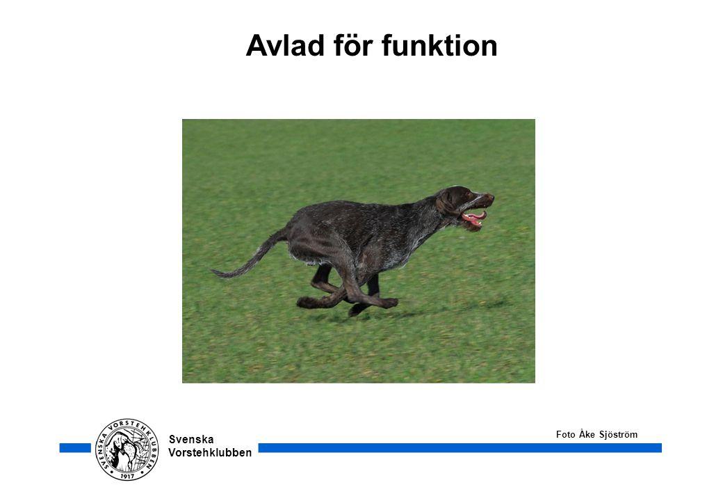 Svenska Vorstehklubben Avlad för funktion Foto Åke Sjöström