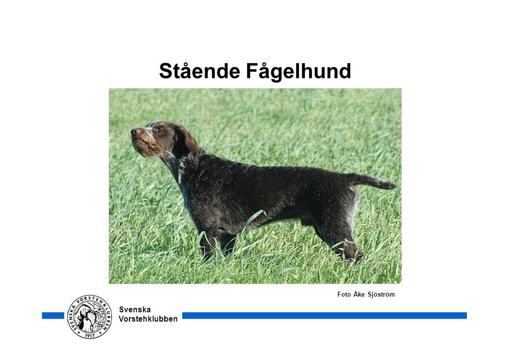 Svenska Vorstehklubben Stående Fågelhund Foto Åke Sjöström