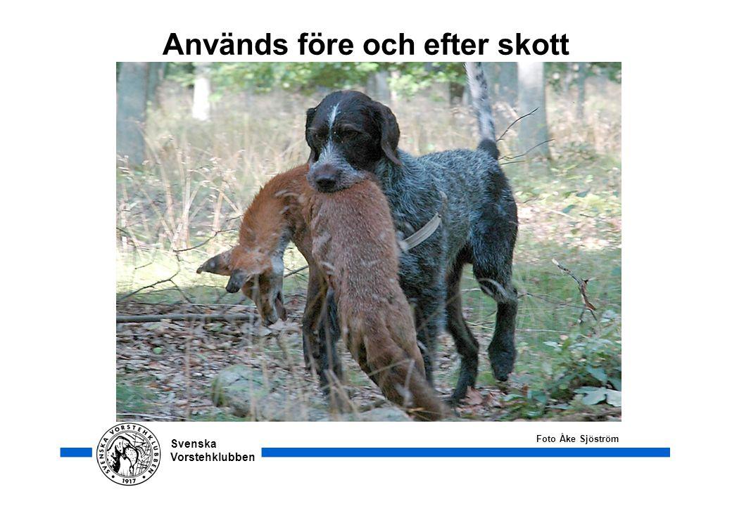 Svenska Vorstehklubben Används före och efter skott Foto Åke Sjöström