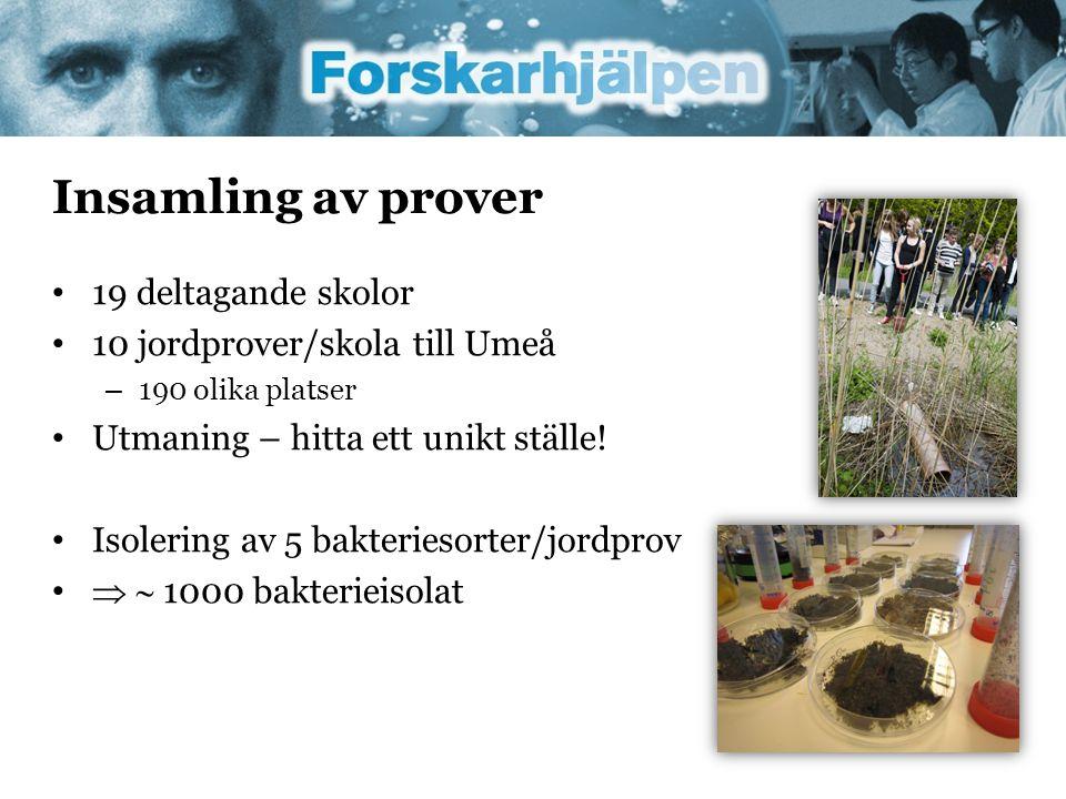 Insamling av prover • 19 deltagande skolor • 10 jordprover/skola till Umeå – 190 olika platser • Utmaning – hitta ett unikt ställe! • Isolering av 5 b