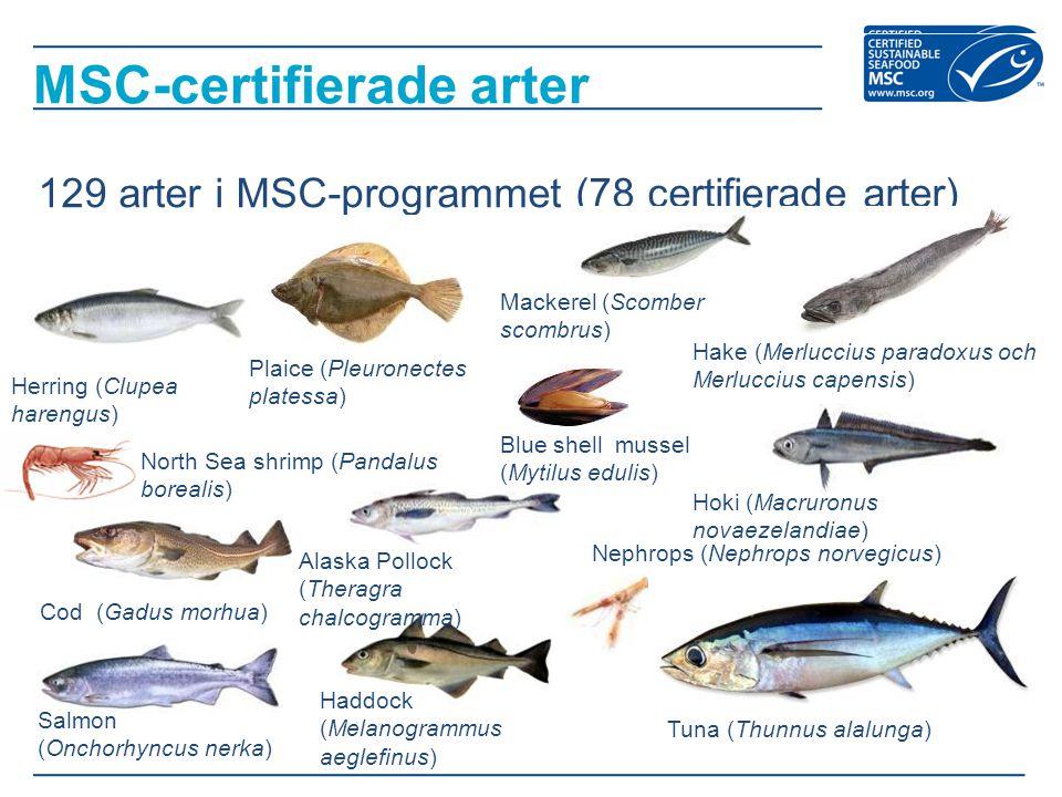 -MSC-certifierade fisk och skaldjur utgör omkring 7 procent av all den vildfångade fångsten -Fisken i utvecklingsländer står för 8 procent av de MSC:s certifierade fiskena -86 procent av de certifierade fiskena kan påvisa att fiskbestånden de fiskar på ligger i linje med eller över bästa praxis för fiskebestånden Resultat - övergripande
