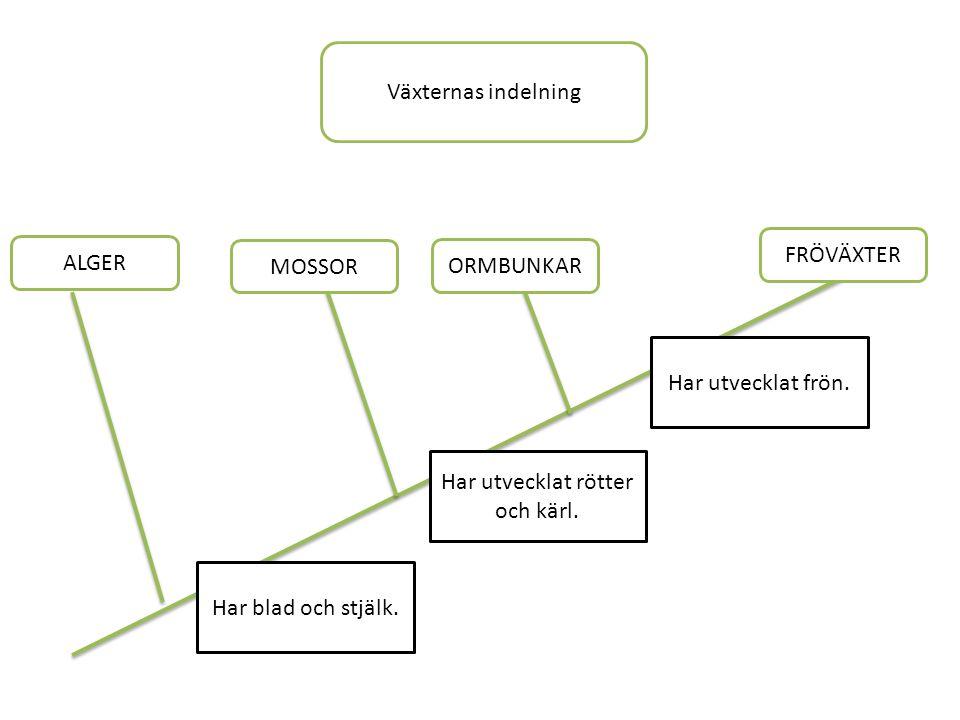 Växternas indelning FRÖVÄXTER ORMBUNKAR MOSSOR ALGER Har utvecklat frön.