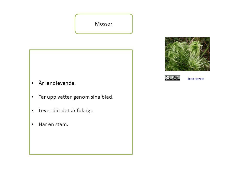 Mossor Bernd Haynold • Är landlevande.• Tar upp vatten genom sina blad.
