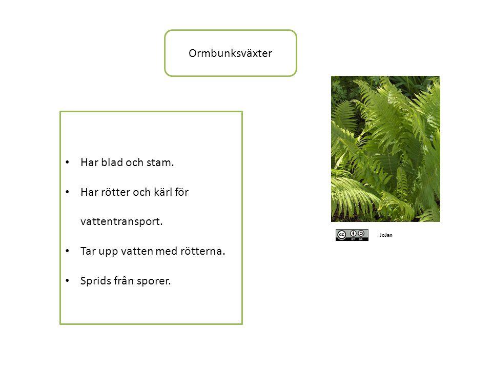 Ormbunksväxter JoJan • Har blad och stam.• Har rötter och kärl för vattentransport.