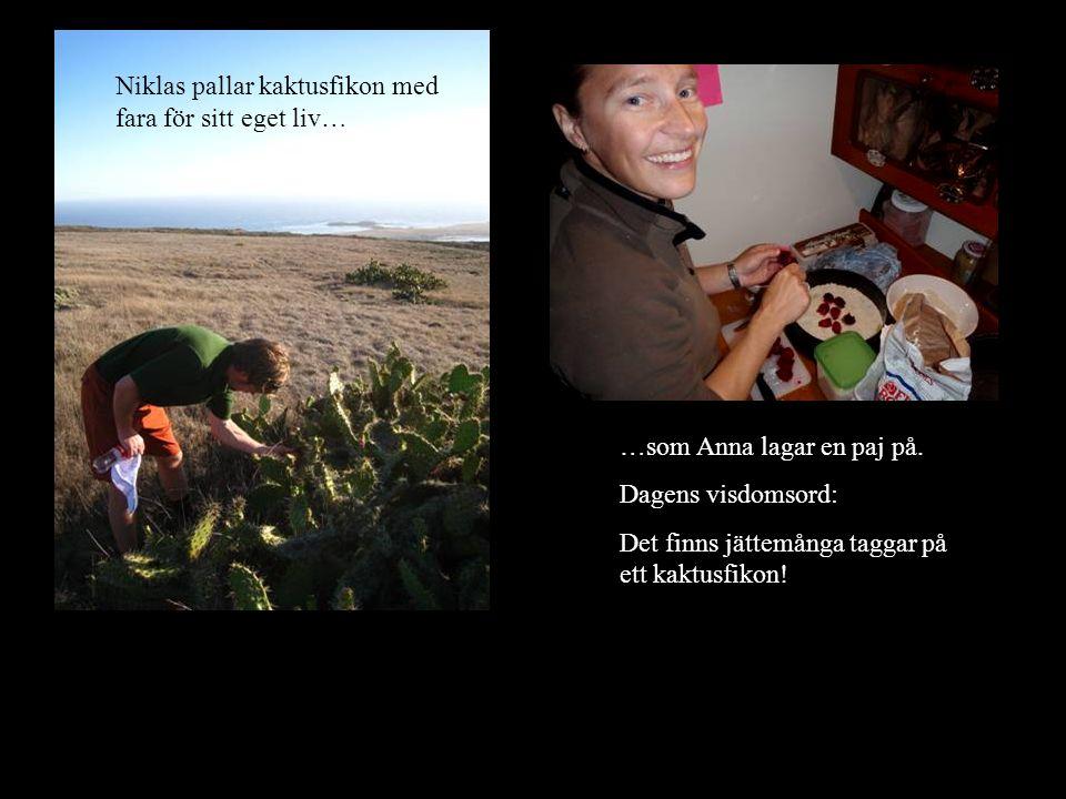 Niklas pallar kaktusfikon med fara för sitt eget liv… …som Anna lagar en paj på.