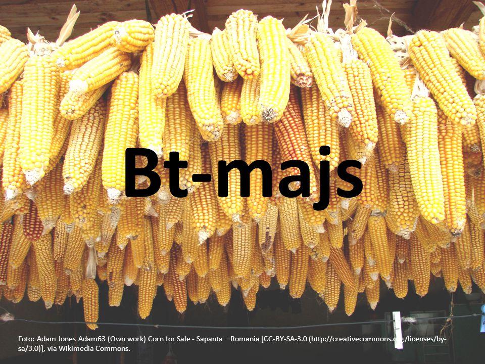 Bt-majs Foto: Adam Jones Adam63 (Own work) Corn for Sale - Sapanta – Romania [CC-BY-SA-3.0 (http://creativecommons.org/licenses/by- sa/3.0)], via Wikimedia Commons.