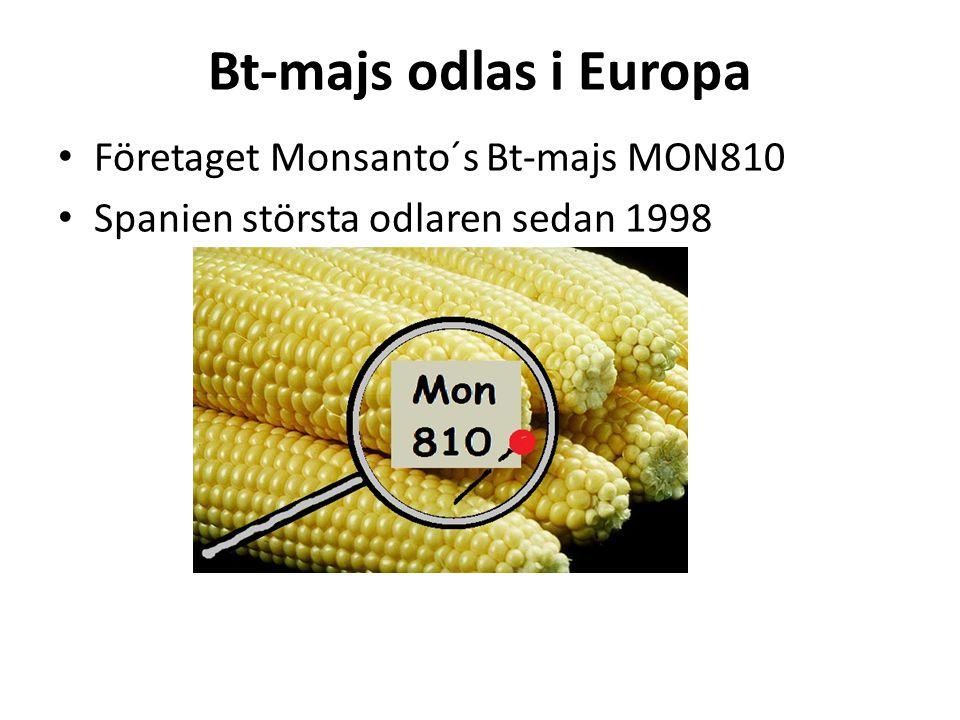 Bt-majs odlas i Europa • Företaget Monsanto´s Bt-majs MON810 • Spanien största odlaren sedan 1998