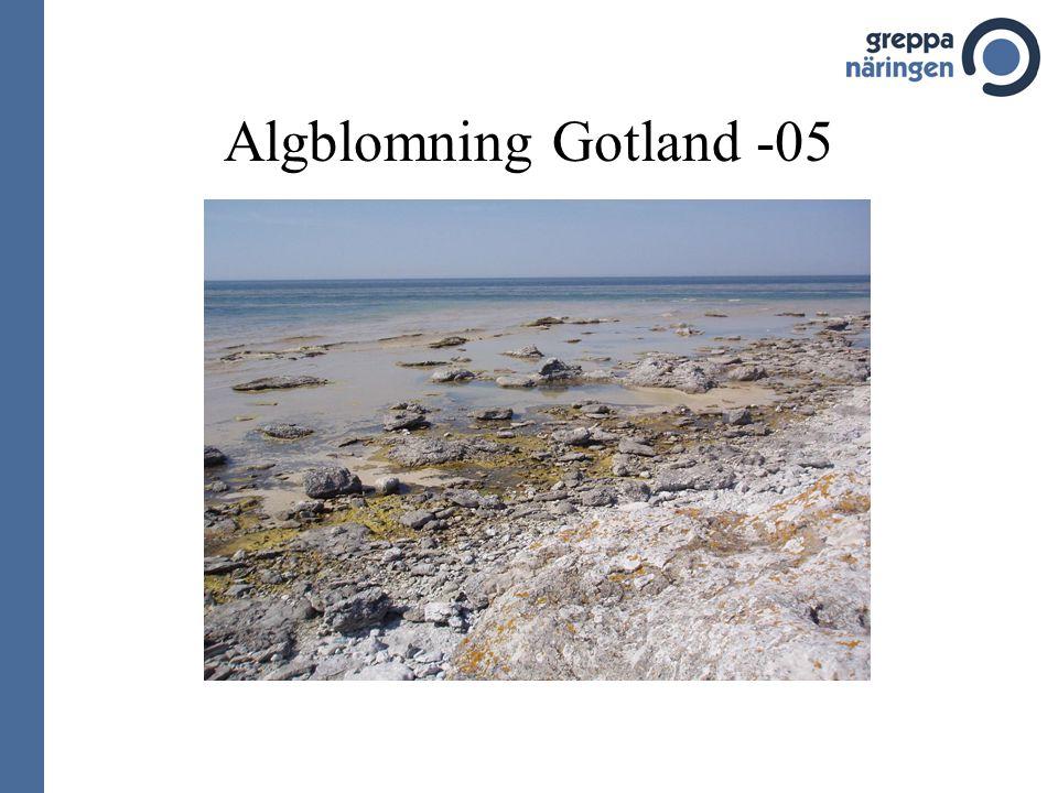 Algblomning Gotland -05