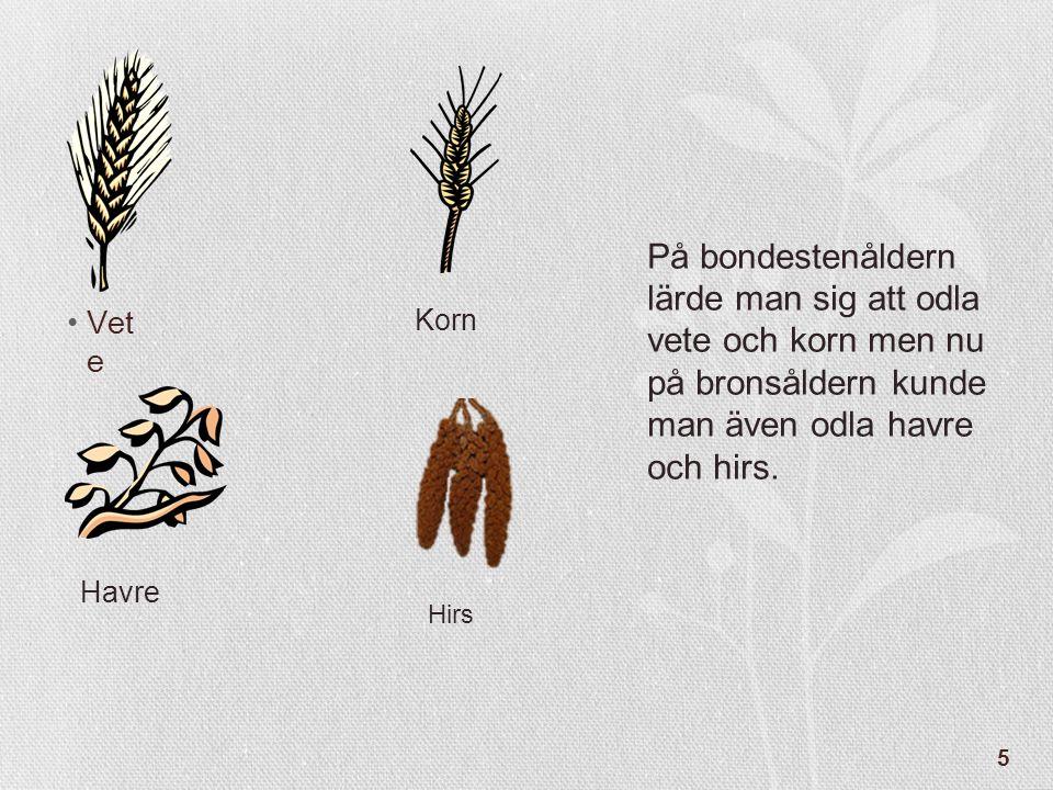 5 •Vet e På bondestenåldern lärde man sig att odla vete och korn men nu på bronsåldern kunde man även odla havre och hirs. Korn Havre Hirs
