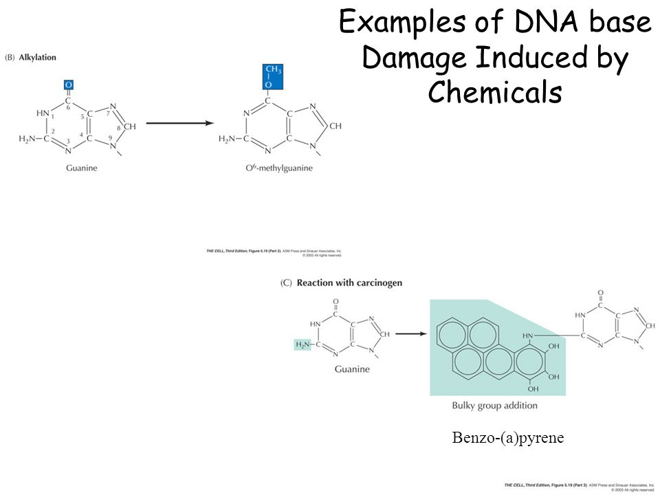 Examples of DNA base Damage Induced by Chemicals Benzo-(a)pyrene