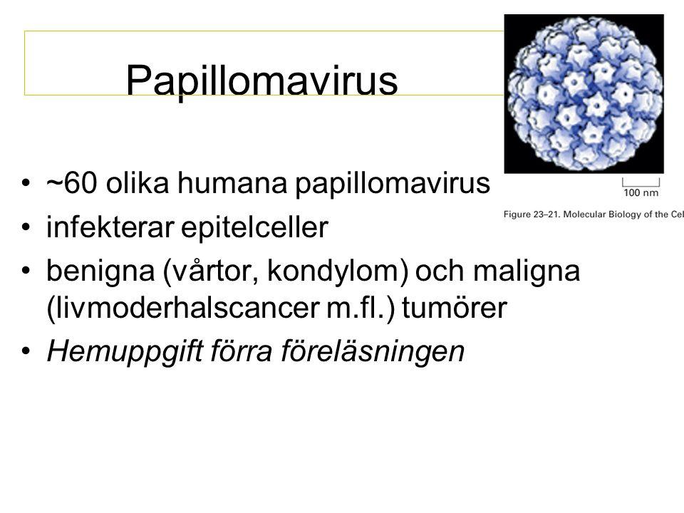 Papillomavirus •~60 olika humana papillomavirus •infekterar epitelceller •benigna (vårtor, kondylom) och maligna (livmoderhalscancer m.fl.) tumörer •H