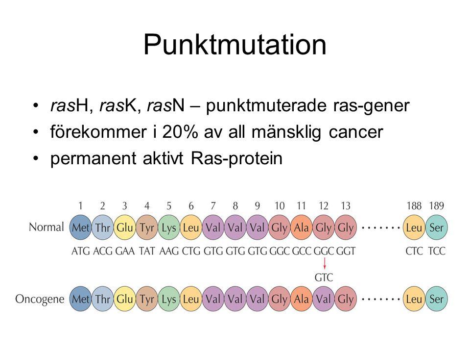 Punktmutation •rasH, rasK, rasN – punktmuterade ras-gener •förekommer i 20% av all mänsklig cancer •permanent aktivt Ras-protein