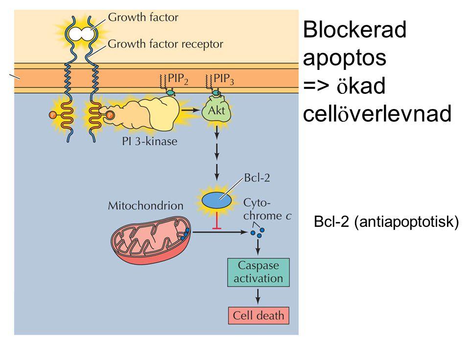 Blockerad apoptos => ö kad cell ö verlevnad Bcl-2 (antiapoptotisk)