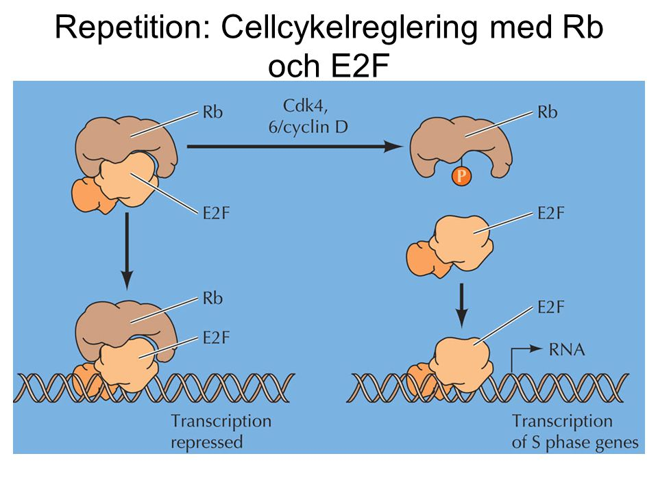 Repetition: Cellcykelreglering med Rb och E2F