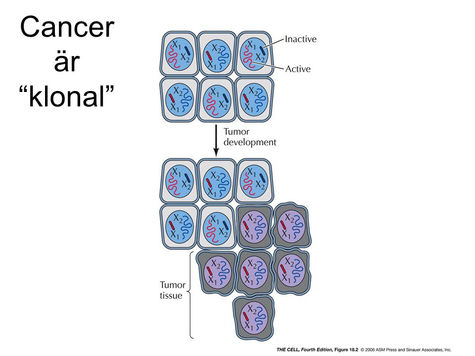 "Cancer är ""klonal"""