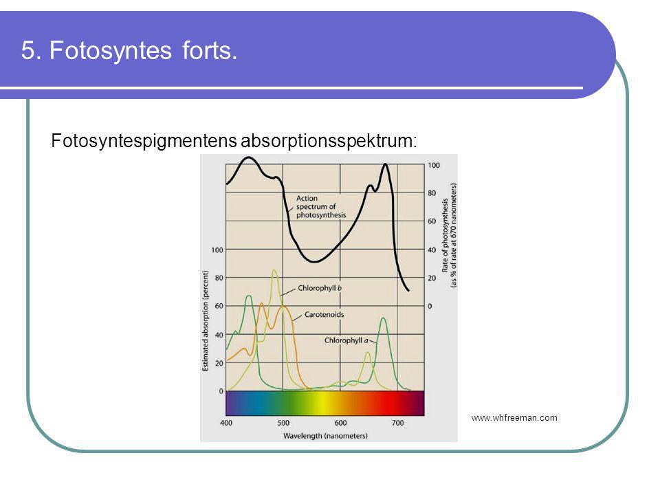 5. Fotosyntes forts. Fotosyntespigmentens absorptionsspektrum: www.whfreeman.com