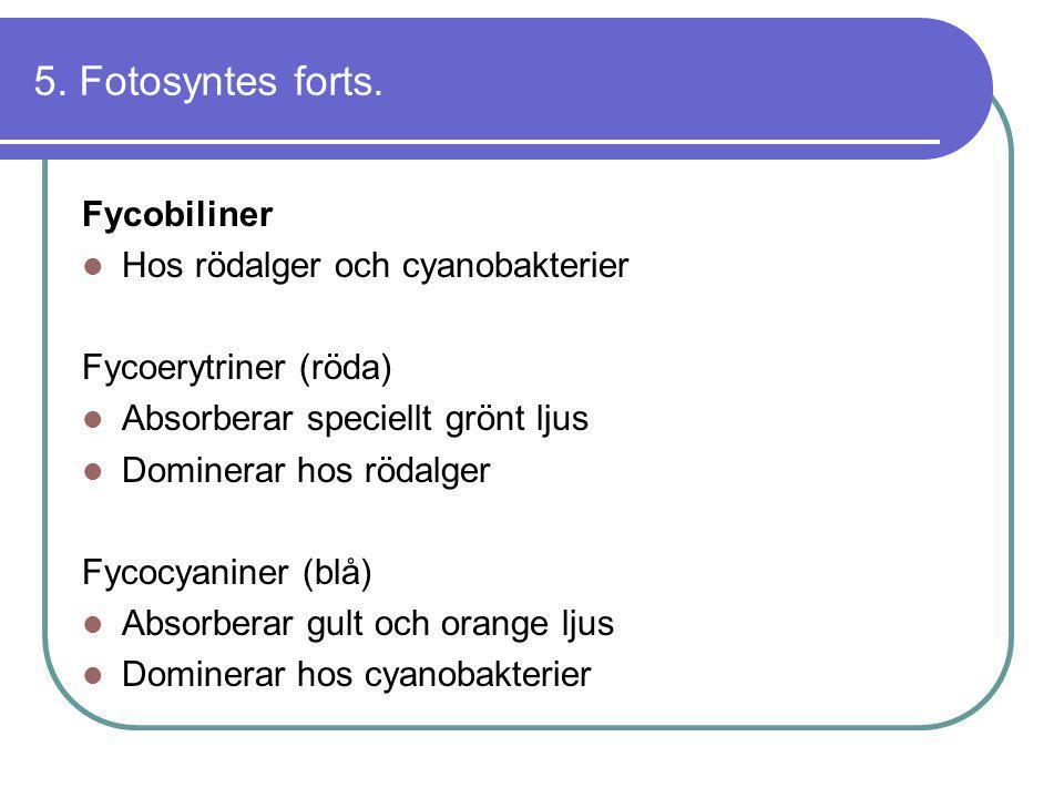 5. Fotosyntes forts. Fycobiliner  Hos rödalger och cyanobakterier Fycoerytriner (röda)  Absorberar speciellt grönt ljus  Dominerar hos rödalger Fyc