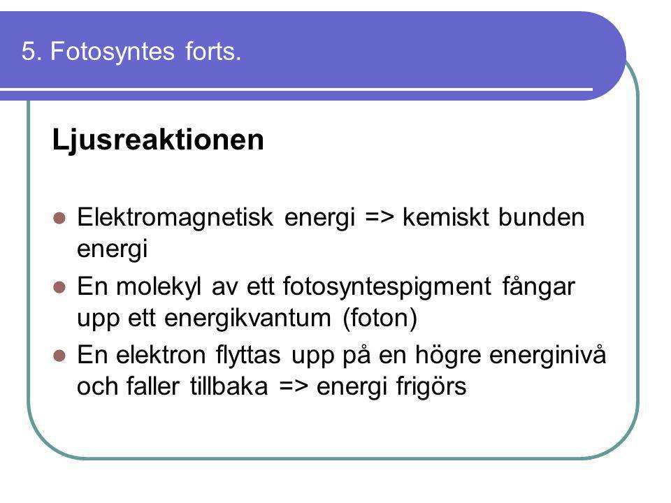 5. Fotosyntes forts. Ljusreaktionen  Elektromagnetisk energi => kemiskt bunden energi  En molekyl av ett fotosyntespigment fångar upp ett energikvan