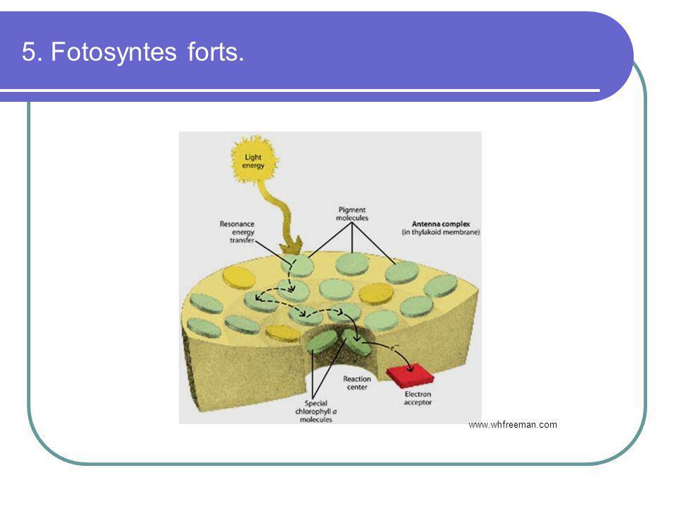 5. Fotosyntes forts. www.whfreeman.com