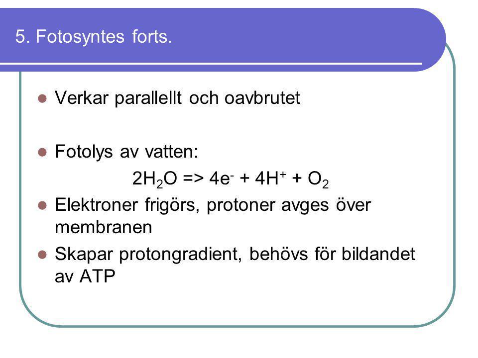 5. Fotosyntes forts.  Verkar parallellt och oavbrutet  Fotolys av vatten: 2H 2 O => 4e - + 4H + + O 2  Elektroner frigörs, protoner avges över memb