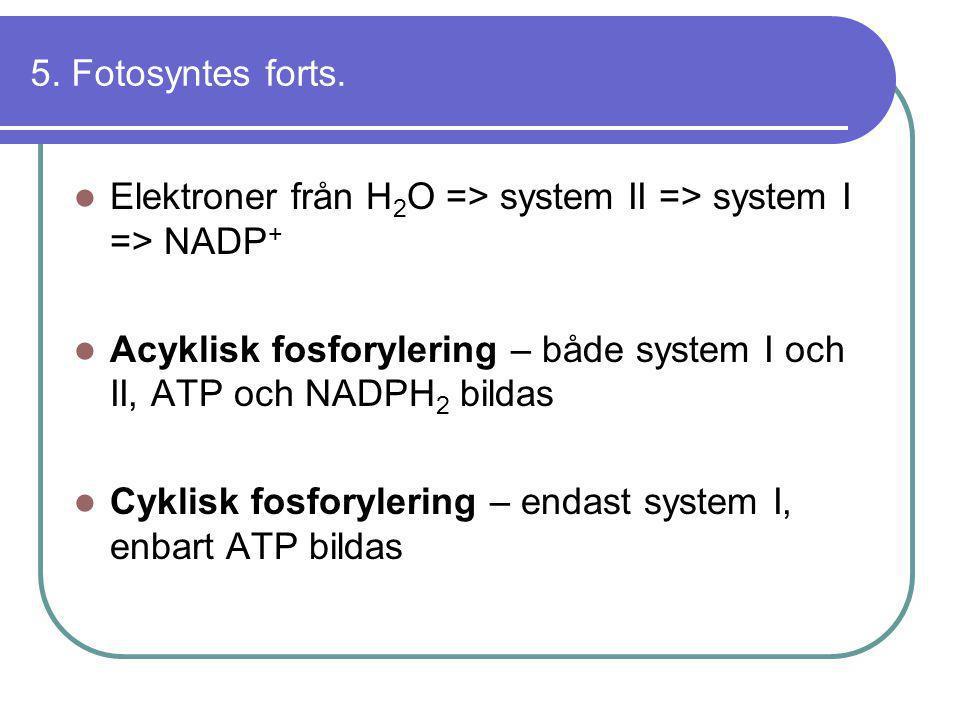 5. Fotosyntes forts.  Elektroner från H 2 O => system II => system I => NADP +  Acyklisk fosforylering – både system I och II, ATP och NADPH 2 bilda