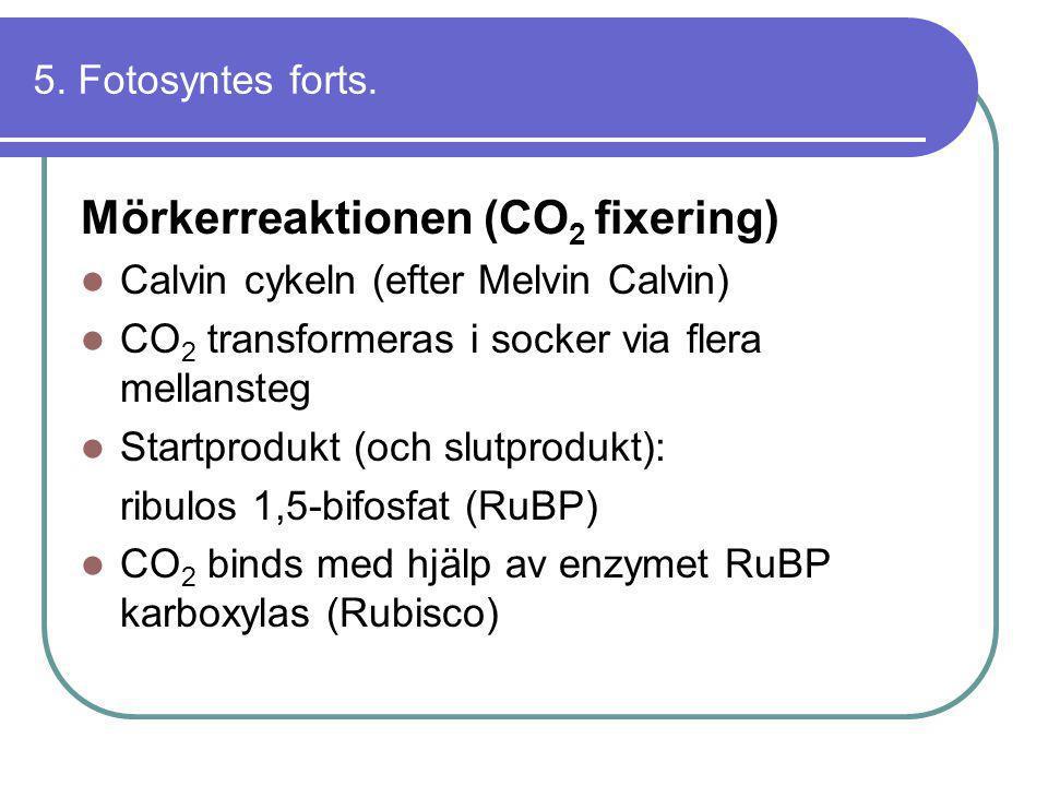5. Fotosyntes forts. Mörkerreaktionen (CO 2 fixering)  Calvin cykeln (efter Melvin Calvin)  CO 2 transformeras i socker via flera mellansteg  Start