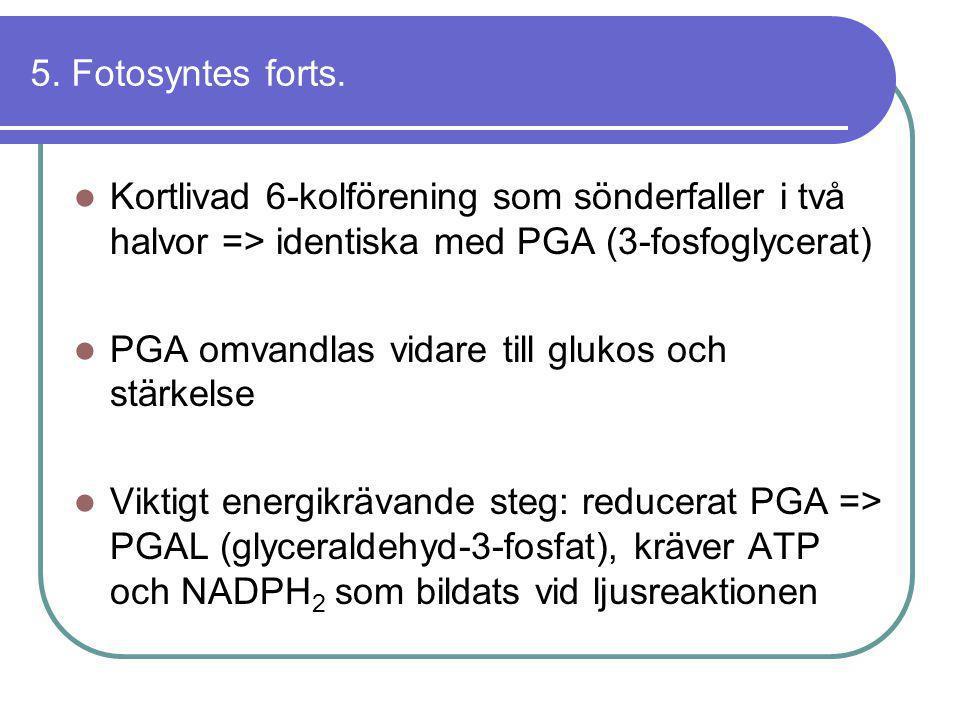 5. Fotosyntes forts.  Kortlivad 6-kolförening som sönderfaller i två halvor => identiska med PGA (3-fosfoglycerat)  PGA omvandlas vidare till glukos