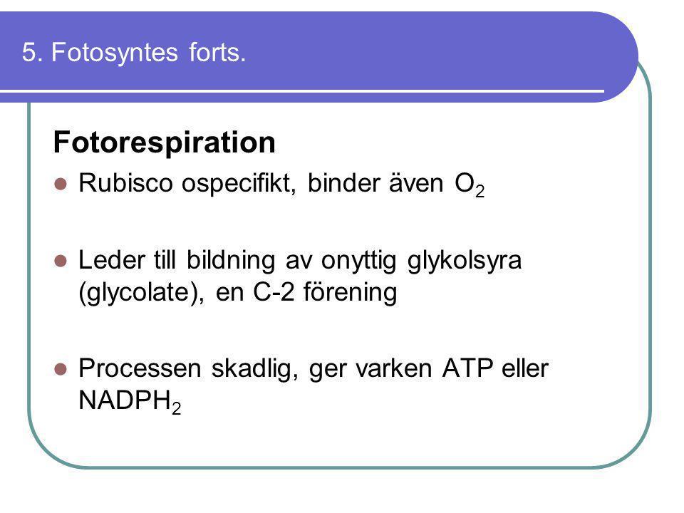 5. Fotosyntes forts. Fotorespiration  Rubisco ospecifikt, binder även O 2  Leder till bildning av onyttig glykolsyra (glycolate), en C-2 förening 
