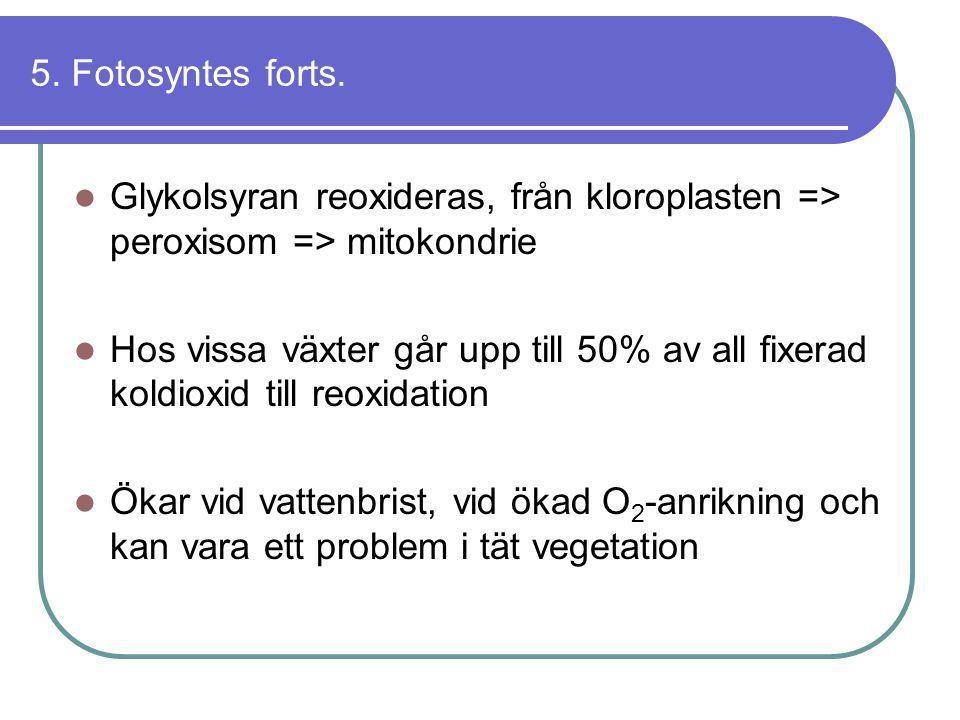 5. Fotosyntes forts.  Glykolsyran reoxideras, från kloroplasten => peroxisom => mitokondrie  Hos vissa växter går upp till 50% av all fixerad koldio