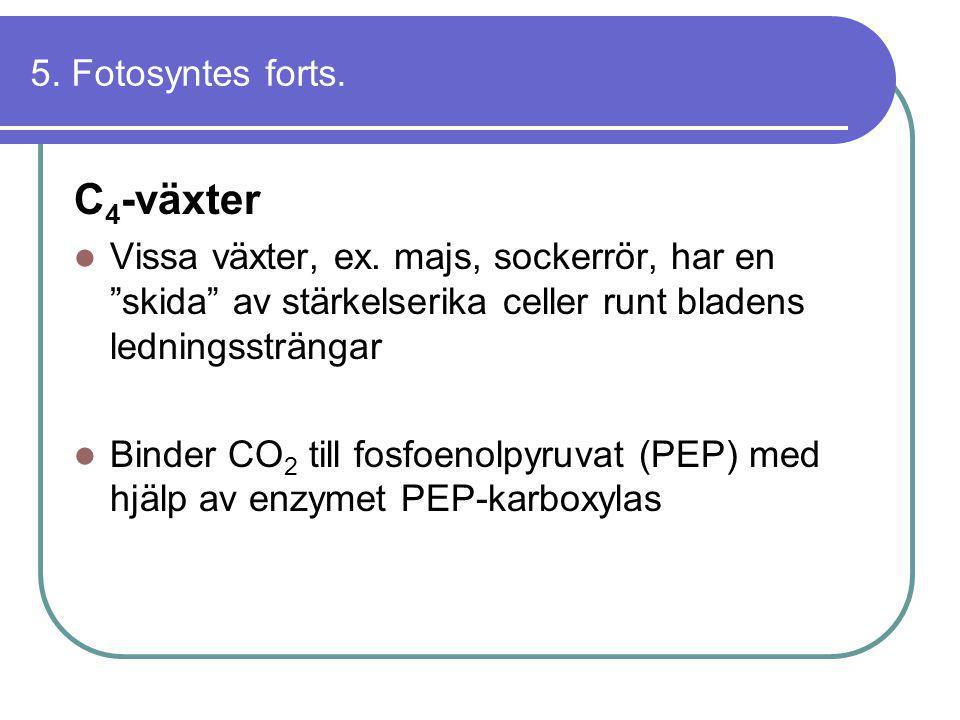 """5. Fotosyntes forts. C 4 -växter  Vissa växter, ex. majs, sockerrör, har en """"skida"""" av stärkelserika celler runt bladens ledningssträngar  Binder CO"""