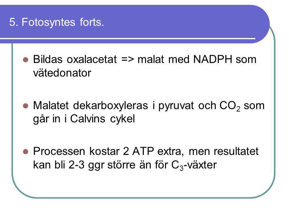 5. Fotosyntes forts.  Bildas oxalacetat => malat med NADPH som vätedonator  Malatet dekarboxyleras i pyruvat och CO 2 som går in i Calvins cykel  P